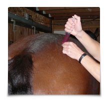 A horse receiving aqua acupuncture